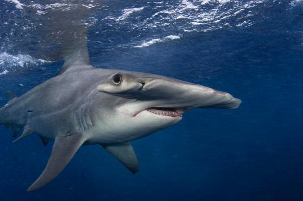 a-great-hammerhead-shark-swimming-brian-j-skerry